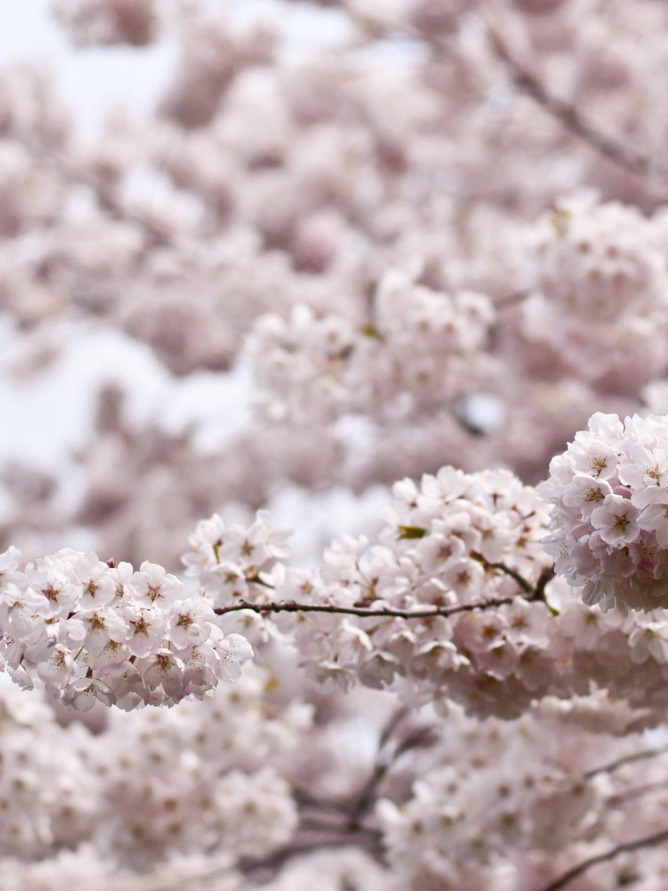 Celebrating Cherry Blossom